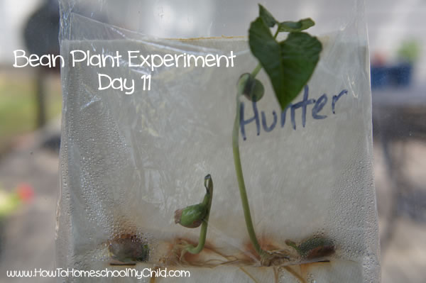 Bean Plant Experiment for Kids Day 11