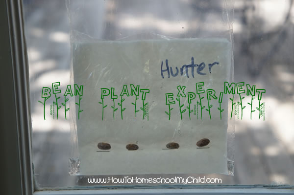 Beanplant Experiment for Kids